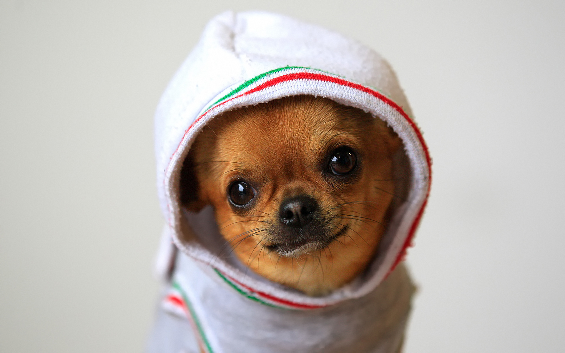 Animals_Dogs_Chihuahuas_in_clothes_033888_