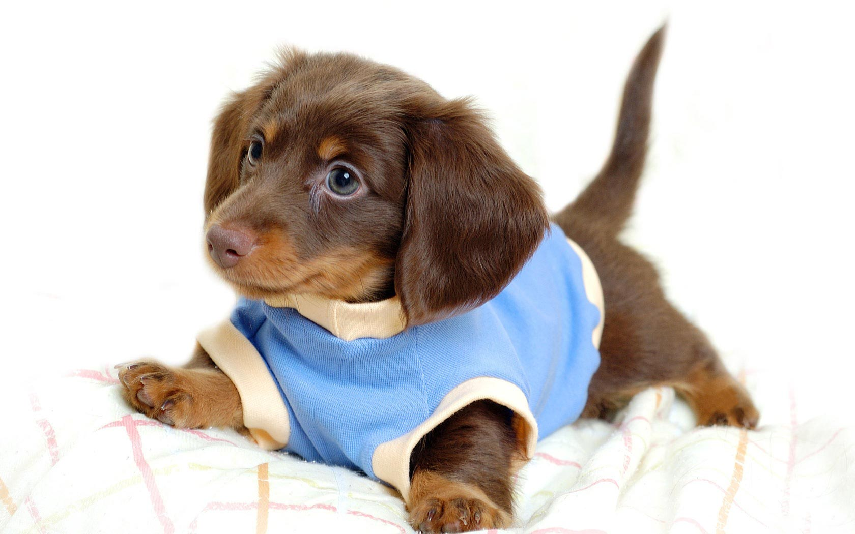 desktop-backgrounds-animal-life-dogs-puppy-dogs-clothes
