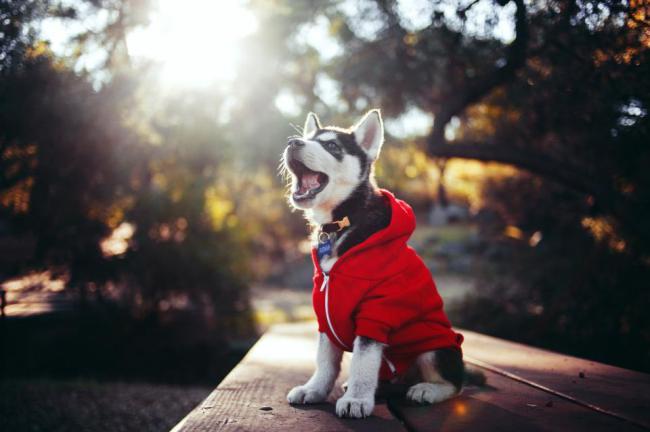 husky-in-a-hoodie
