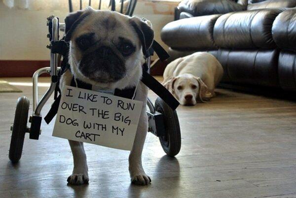i-like-to-run-over-the-big-dog-with-my-cart-pug