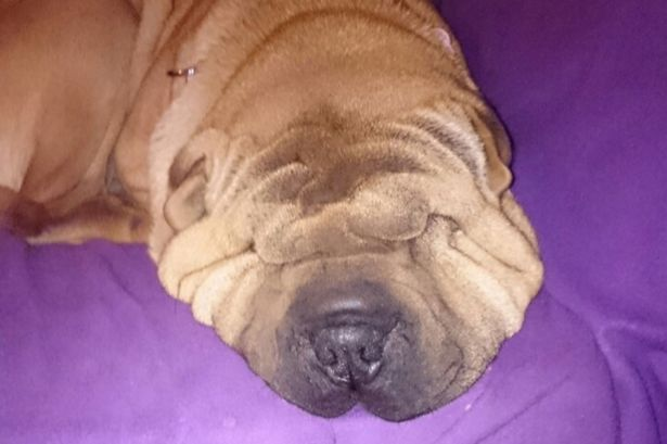 Shar Pei Honey Needs Face Lift