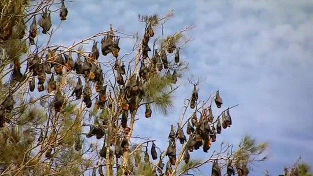 swarm of bats invade australia