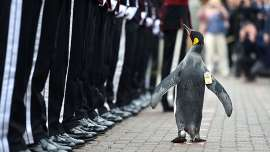 Knight Penguin