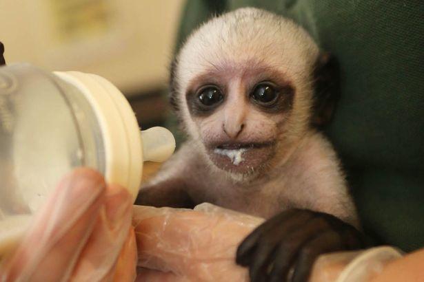 Monkey Voldemort Lookalike