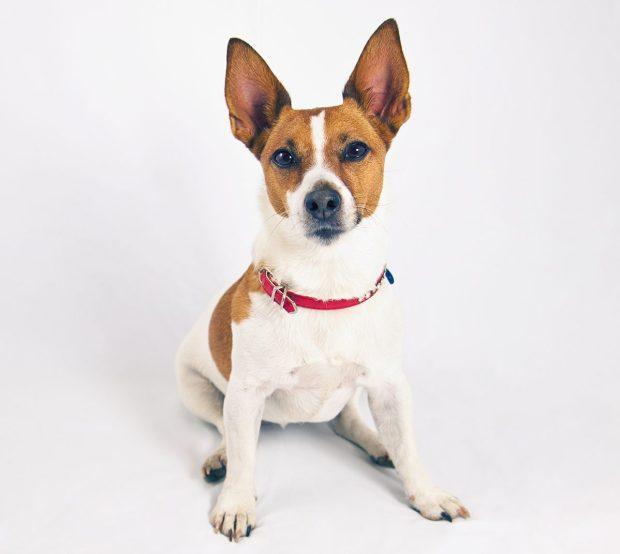 Dog with Upward Ears