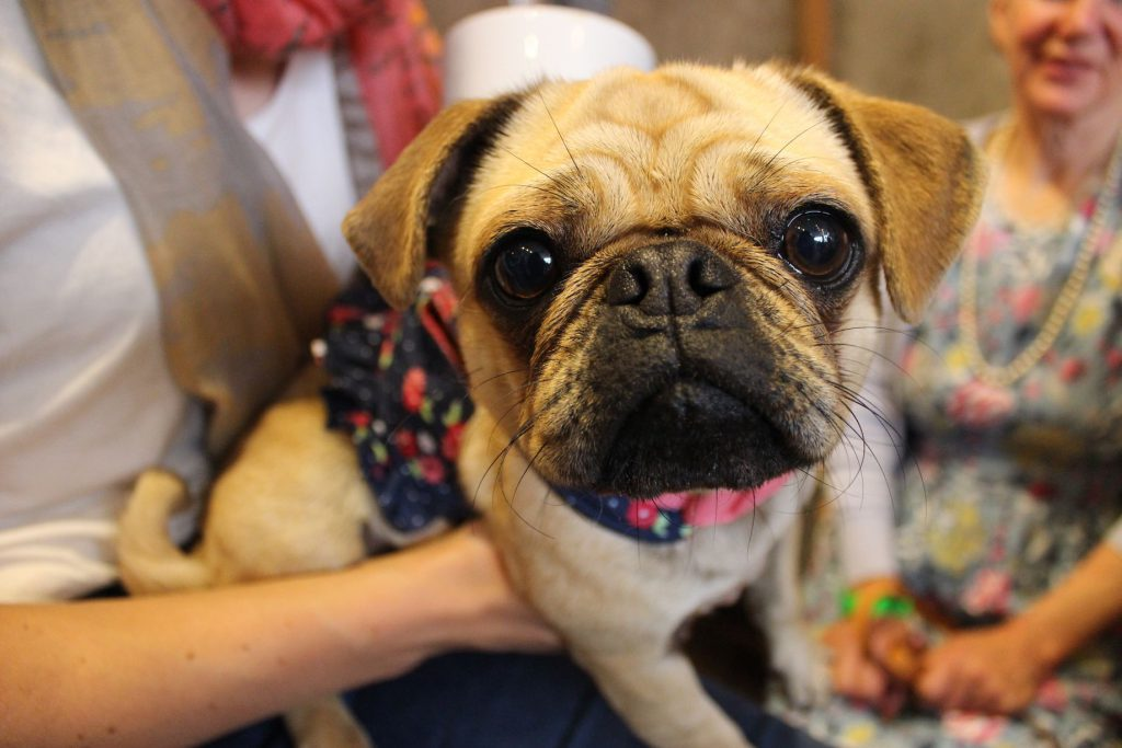 Hello There Little Pug