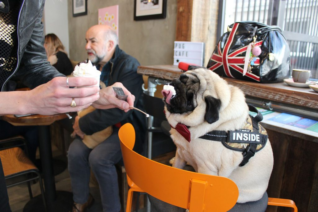 Pug Enjoying a pugguccino