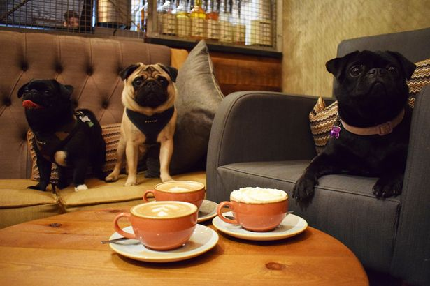 Pugs meet up for a coffee morning.