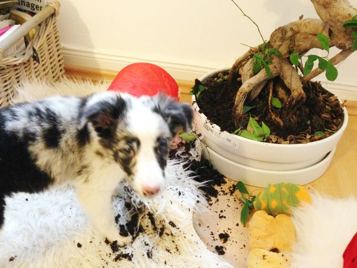 Border Collie making mess