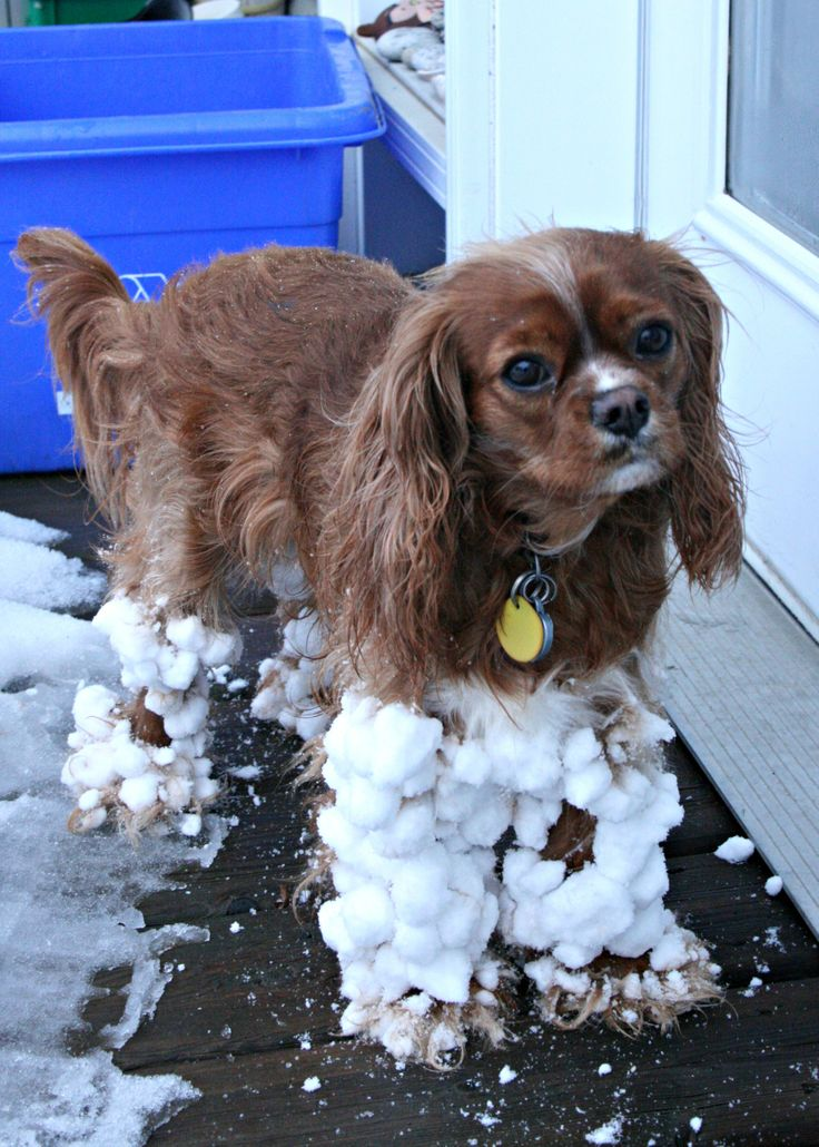 Cavalier King Charles Spaniel dived in snow
