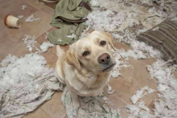 Labrador Doing Mess