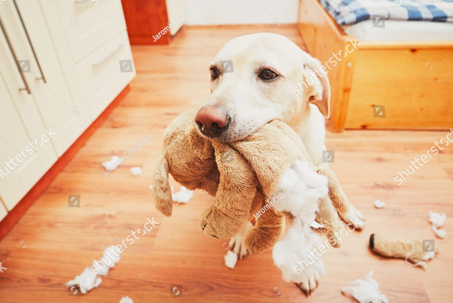 Labrador Retriever mess