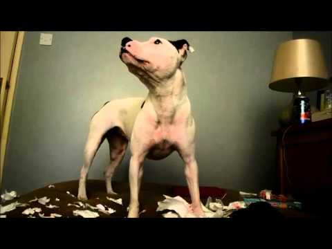 Staffordshire Bull Terrier shredding paper