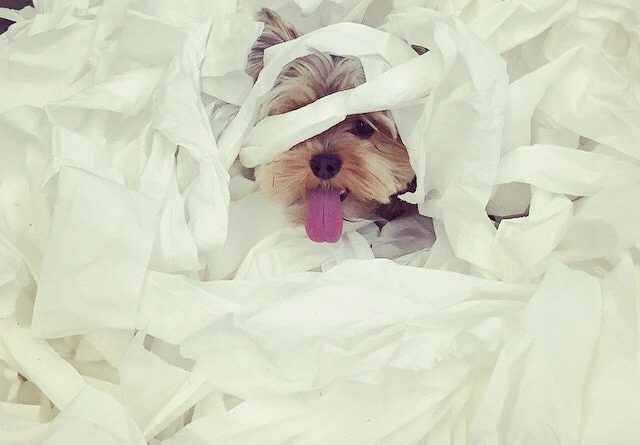 Yorkshire Terrier cute mess