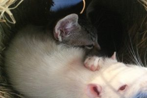 Rats and Kittens are Friends in this Magical Café